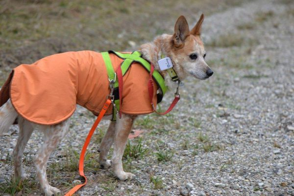 a dog wearing a GPS tracker