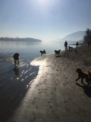 multiple dogs on the danube shore