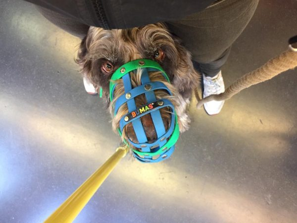 a dog in a muzzle sitting between the legs of its guardian on a bus
