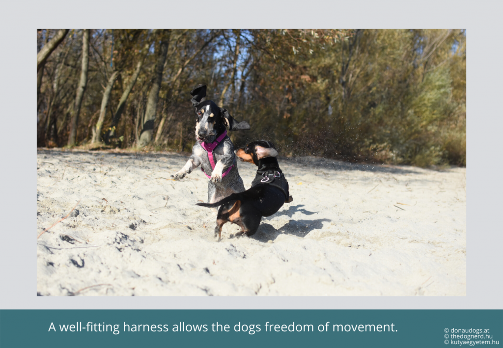 two dogs in harnesses playing exuberantly