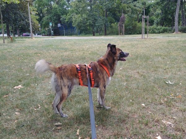 A dog wearing a safety harness.