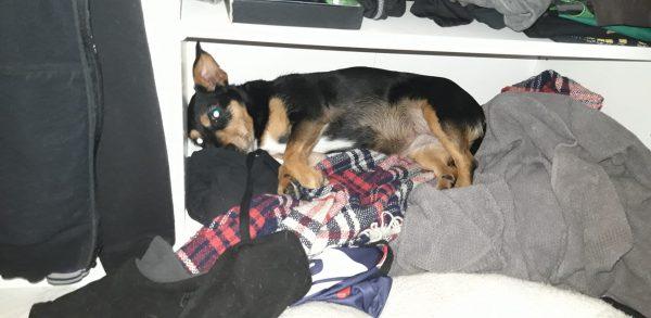 A dog hiding in the wardrobe.