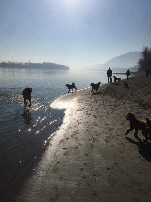 multiple dogs on the danube shore
